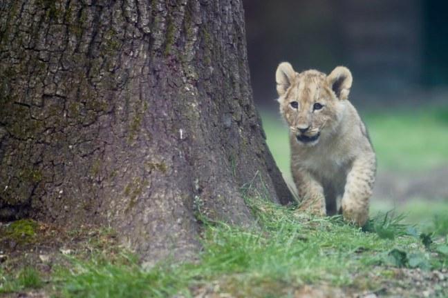 Lionceau au zoo de Thoiry