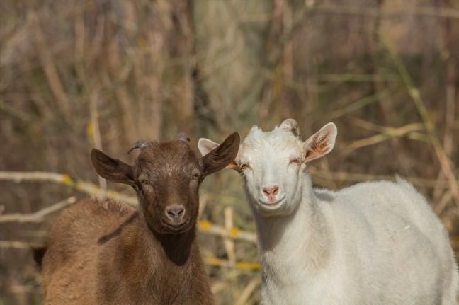 deux chèvres souriantes