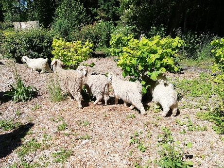 des chèvres cherchent à manger